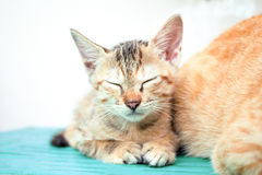 Sleeping kitten on wooden bench. Young cat on wooden background. Countryside life of domestic cat. Small kitten on rustic board. Lovely brown kitty. Domestic Stock Photos