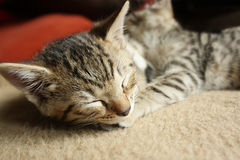 Sleeping kitten Stock Images