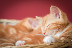 Sleeping kittens Royalty Free Stock Photos