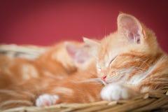 Sleeping kittens Royalty Free Stock Photos