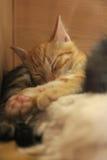 Sleeping Kittens. Sleepy kittens taking a nap Stock Image