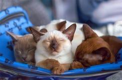 Sleeping kittens Thai and Burmese breed. stock photos