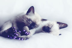 Sleeping kittens. Tired Tonkinese sisters taking a nap Stock Photo