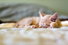 Sleeping Kitty Stock Image