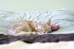 Sleeping Kitty with pillow Royalty Free Stock Photo