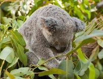 Sleeping Koala. Young koala dozes off after a scrumptious meal of fresh eucalyptus leaves Stock Image