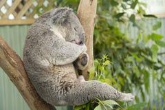 Sleeping koala Stock Image