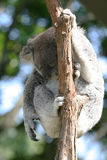 Sleeping koala Royalty Free Stock Photos