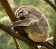 Sleeping Koala in Australia Stock Image