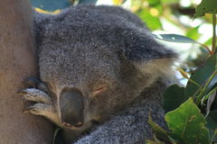 Sleeping Koala Stock Photos