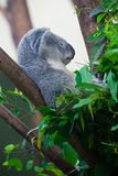 Sleeping Koala bear Royalty Free Stock Photography