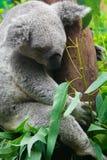 Sleeping Koala Bear Royalty Free Stock Photos