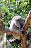 Sleeping Koala Bear Stock Image