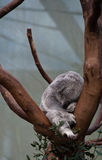 Sleeping koala bear on a branch Stock Images