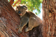 Sleeping koala. Bear on a branch Royalty Free Stock Images