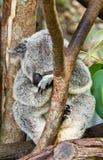 Sleeping koala Royalty Free Stock Photo