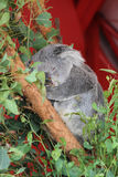 Sleeping Koala Royalty Free Stock Photo