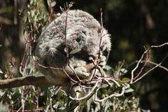 Sleeping Koala. Bear at the LA ZOO Stock Photography