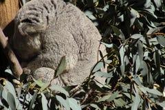 Sleeping Koala. Bear at the LA ZOO Royalty Free Stock Photography