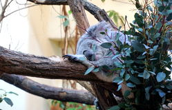 Sleeping koala bear Stock Photos