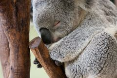 Sleeping Koala Bear in a tree Royalty Free Stock Image