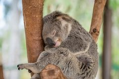 Sleeping Koala Bear Stock Images