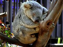 Sleeping koala on branch Stock Image