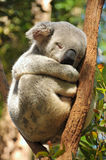 Sleeping koala on a branch Stock Photography