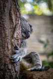 Sleeping koala on branch Royalty Free Stock Images