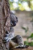 Sleeping koala on branch Royalty Free Stock Image