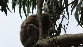 Sleeping koala on the branch