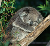 Sleeping Koala Stock Image