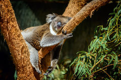 Sleeping koala. Cute koala sleeping on the tree royalty free stock photos