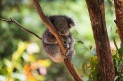 Sleeping koala on eucalyptus tree, sunlight. Royalty Free Stock Photography