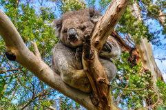 Sleeping koala on the Great Ocean Road, Australia Royalty Free Stock Photography