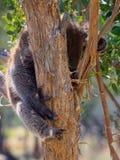 Sleeping koala Stock Images