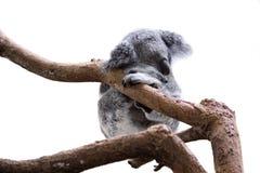 Sleeping koala isolated on white Royalty Free Stock Image