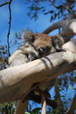 Sleeping koala Stock Images