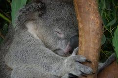 Sleeping koala sitting on an eucalyptus tree branch Royalty Free Stock Image