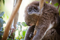 Sleeping Koala Royalty Free Stock Image