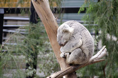 Sleeping Koala in a tree Stock Photos