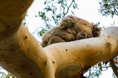 Sleeping koala in the tree stock photo
