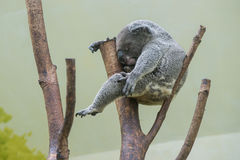 Sleeping koala. A koala sleeping on a tree crotch royalty free stock photography