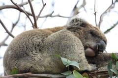 Sleeping Koala. In a tree, Victoria, Australia stock image