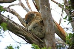 Sleeping Koala. In a tree, Victoria, Australia royalty free stock photos