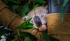 Sleeping Koala. This is a zoom shot of a Koala Bear snoozing Stock Photography