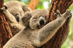 Sleeping koalas Royalty Free Stock Image