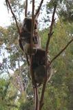 Sleeping Koalas in a tree Stock Photos
