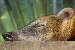 Sleeping koati. amazonian rain forest. ecuador Stock Images