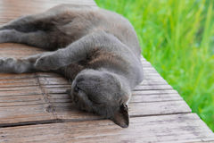 Free Sleeping Korat Cat Royalty Free Stock Image - 74825156